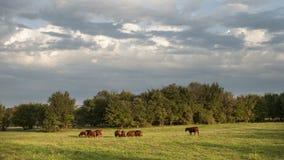 Gado em um pasto verde com cloudscape Fotos de Stock Royalty Free