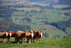 Gado em uma exploração agrícola de Galês Imagens de Stock
