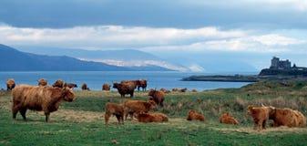 Gado Escócia das montanhas Fotografia de Stock