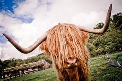 Gado escocês das montanhas imagem de stock