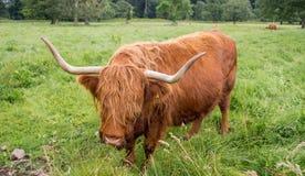 Gado escocês das montanhas foto de stock royalty free