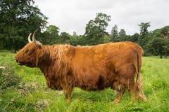 Gado escocês das montanhas fotos de stock royalty free