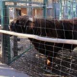 Gado escocês das montanhas Bull em uma gaiola vaca imagens de stock