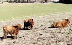 Gado escocês das montanhas em um pasto Fotos de Stock Royalty Free