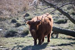 Gado escocês das montanhas no parque pequeno em Hoogvliet no harbo Imagens de Stock Royalty Free