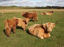 Gado escocês em um pasto verde Foto de Stock