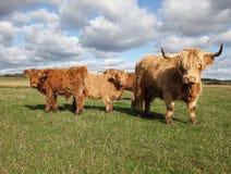 Gado escocês em um pasto verde Fotografia de Stock