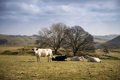 Gado na paisagem BRITÂNICA do distrito máximo no dia ensolarado Foto de Stock Royalty Free