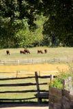 Gado no campo, com cerco rústico e ramos pesados em cima Fotos de Stock