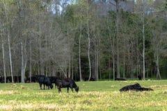 Gado preto de Angus que pasta em março Foto de Stock
