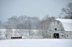 Gado que alimenta na neve Fotografia de Stock