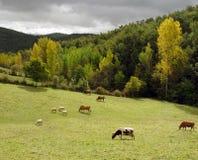 Gado que pasta em um campo verde Fotografia de Stock Royalty Free