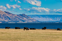 Gado que pasta no lago Hawea, alpes do sul, NZ Imagens de Stock