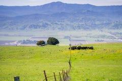 Gado que pasta; Vista para o vale e o pico de Loma Prieta dos montes do chacal Ridge, San Jose, sul San Francisco Bay fotos de stock royalty free