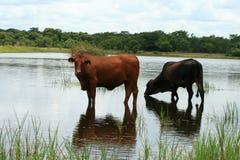 Gados bovinos Fotos de Stock