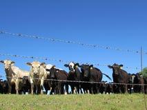 Gados bovinos atrás do arame farpado Fotografia de Stock