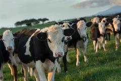Gados bovinos preto e branco no final da tarde em uma exploração agrícola próximo fotos de stock royalty free