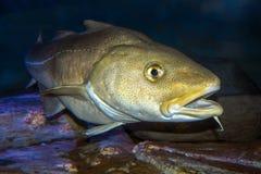 Atlantic Cod, Gadus morhua, portrait,close up