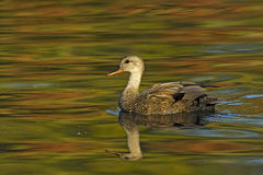 Gadwall. Anas strepera Royalty Free Stock Images
