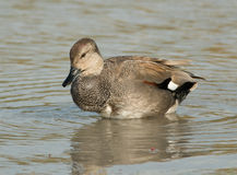 Gadwall Stock Photos