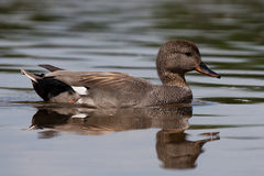 Gadwall. Swimming on a lake Stock Photos