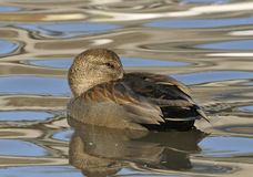Gadwall - Anas strepera Royalty Free Stock Photo