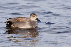 Gadwall (Anas strepera) Stock Photo