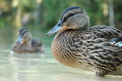 Gadwall(Anas strepera) - female. A female of Gadwall (Anas strepera) in water stock image