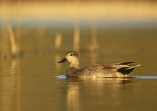 Gadwall (Anas strepera) - male. Photo of gadwall in sunset light Royalty Free Stock Photos
