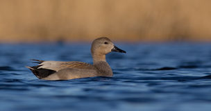 Gadwall - Anas strepera - male Royalty Free Stock Photo
