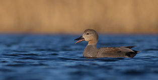 Gadwall - Anas strepera - male Royalty Free Stock Image