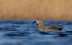 Gadwall - Anas strepera - male Royalty Free Stock Photos