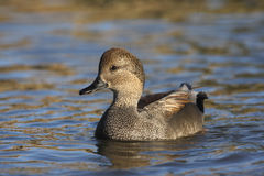 Gadwall, Anas strepera, male Royalty Free Stock Images