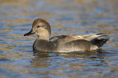 Gadwall, Anas strepera, male Stock Photo