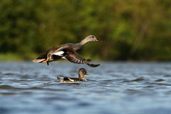 The Gadwall Anas strepera Royalty Free Stock Photos
