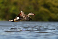 The Gadwall Anas strepera Royalty Free Stock Photography