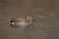 Gadwall,  Anas strepera Royalty Free Stock Photo