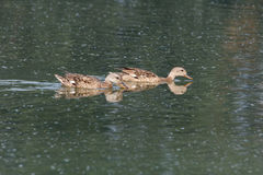 Gadwall bird and pond Stock Images