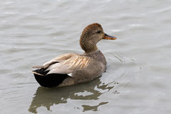Gadwall Royalty Free Stock Photography