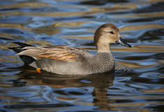 Gadwall Drake Duck. A handsome gadwall drake enjoys the afternoon in a freshwater pond Stock Photo