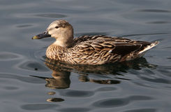 Gadwall Drake Duck. A male gadwall duck enjoys the afternoon Royalty Free Stock Photography