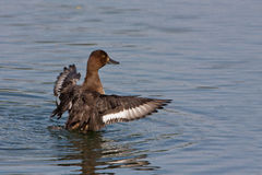 Gadwall Duck Stock Images