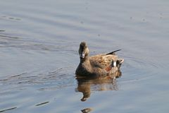 Gadwall duck anas strepera Royalty Free Stock Photo