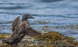 Gadwall duck, Ofeigsfjordur, Strandir Coast, West Fjords, Icelan Royalty Free Stock Images