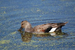 Gadwall Duck in pond with duckweed Royalty Free Stock Photos