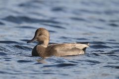 Gadwall Duck swimming on blue water in Fall stock photography