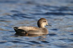 Gadwall Duck swimming on blue water in Winter stock image