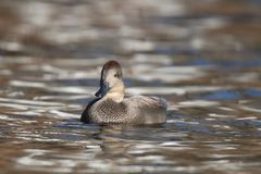 Gadwall Duck swimming on gold water in Fall at Dusk stock photos