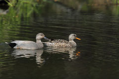 Gadwall Ducks Stock Photos