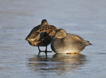 Gadwall Ducks - Anas strepera Royalty Free Stock Photography